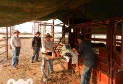 Euan Murdoch, Don Nicol, Nat McGhee, Jim Green scanning Ultrablack Bulls at Lake Nash NT.