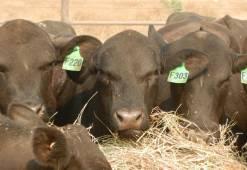Bulls at Lake Nash.