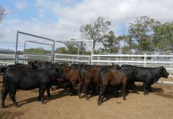 Donor Heifers