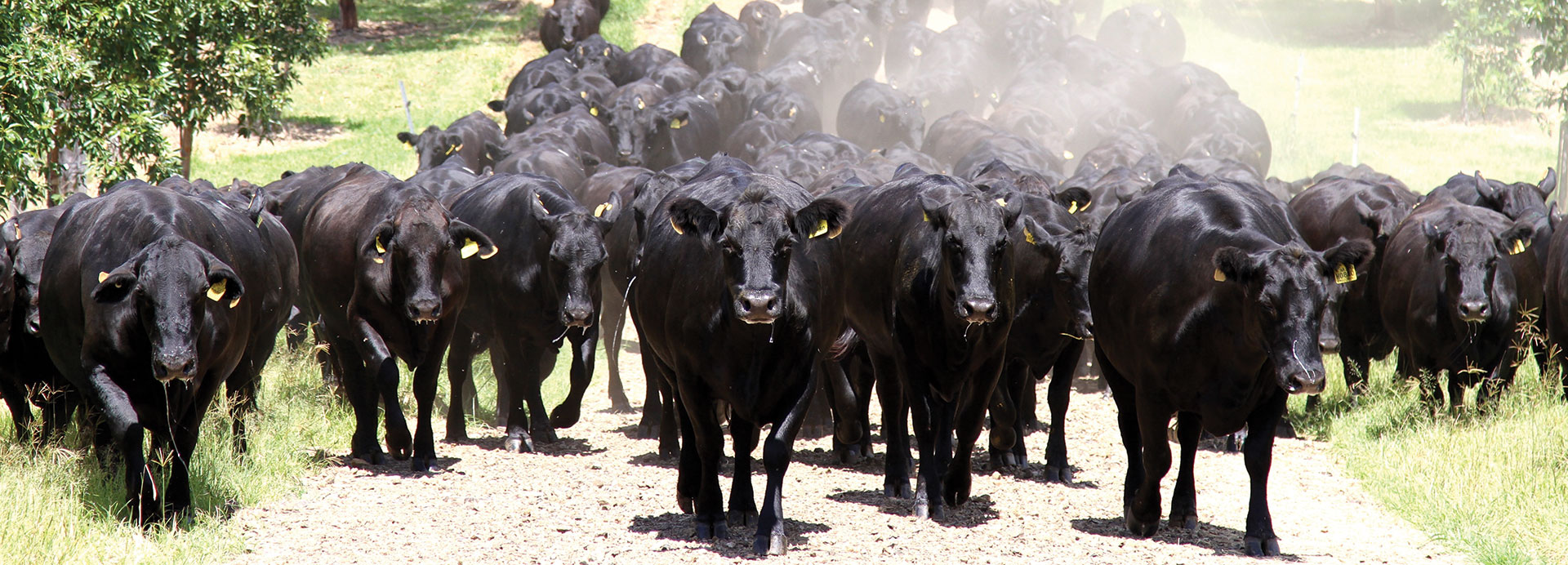 Nindooinbah Queensland Angus Sales